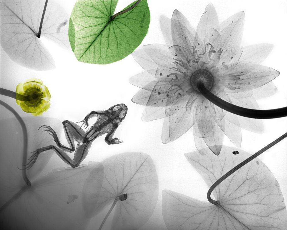 Arie van t Riet - Frog Waterlilly