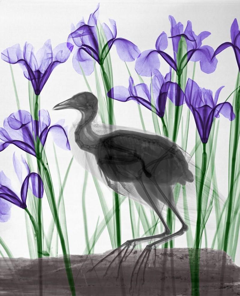 Arie van t Riet - Moorhen Iris