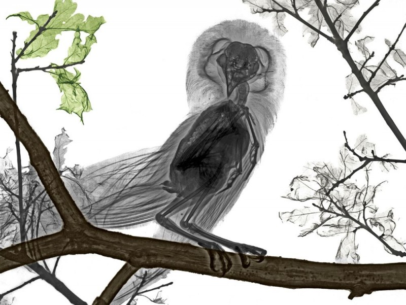 Arie van t Riet - Barn Owl
