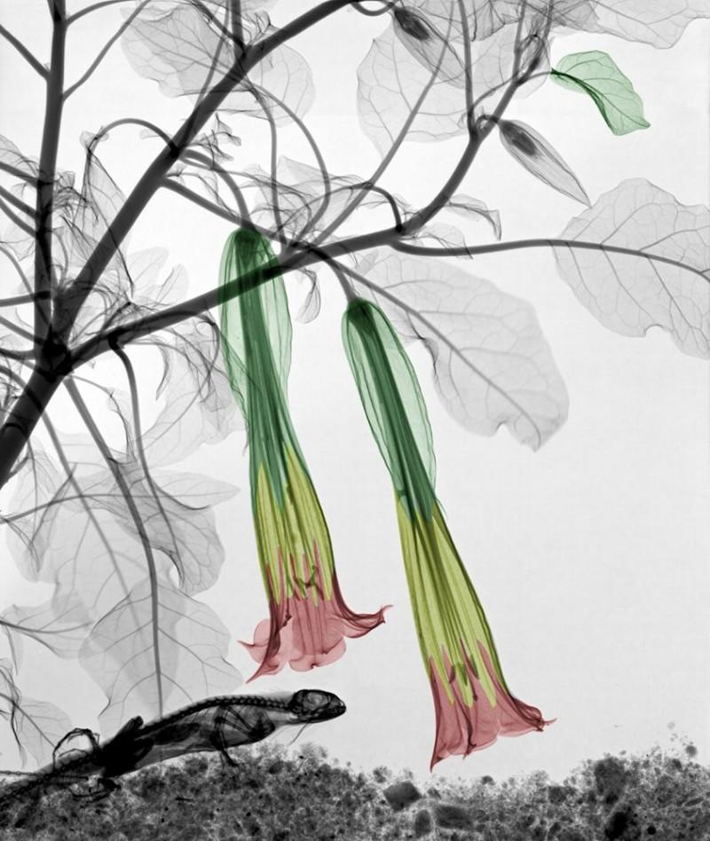 Arie van t Riet - Iguana Angels trumpet (Brugmansia)