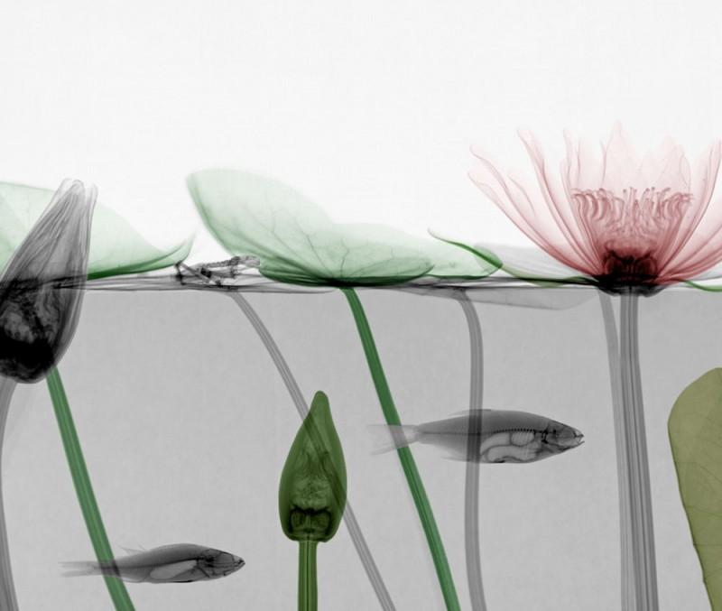 Arie van t Riet - Roach - Waterlily
