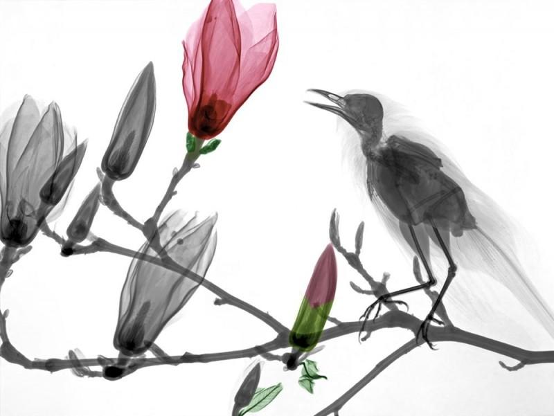 Arie van t Riet - Turdus merola - Magnolia