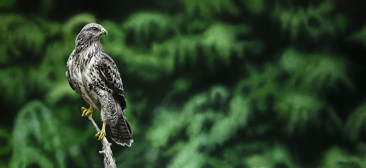 Walter Elst | Buteo buteo, king of the forest
